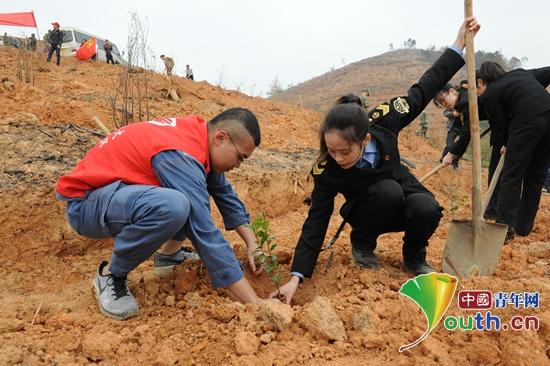 图为田阳县青年志愿者小心翼翼扶起树苗。田阳县团委 供图